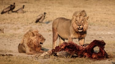 Lions on the Makgadikgadi salt pans, Botswana