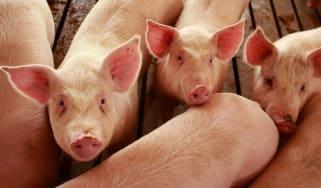 pigs at US farm