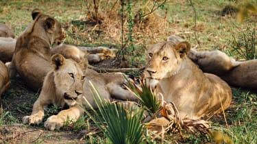 Chada pride of lions in Katavi National Park, Tanzania