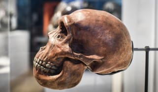 A Neanderthal skull on display.
