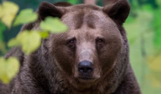A brown bear has reportedly stolen two guns from a Siberian hunter