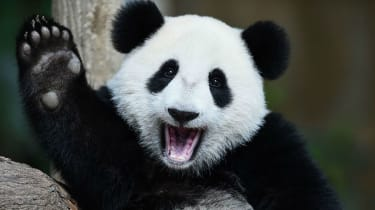 But more than a third of the panda's bamboo habitat is set to disappear by the end of the century due to climate change