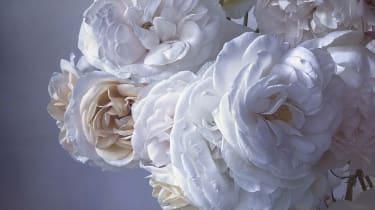 portfolio_theweek_nickknight_teaser_roses.png