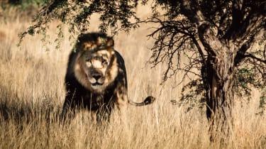 Black-maned Kalahari lion