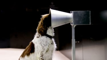 A springer spaniel is trained to sniff out coronavirus