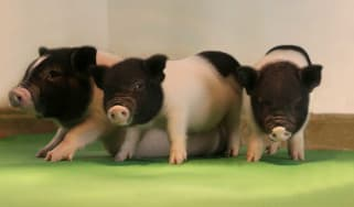 Genetically modified pigs fit for human transplant