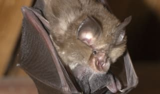 A lesser horseshoe bat