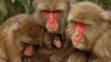 Macaque monkeys huddle together for warmth at Awajishima Monkey Center, Japan