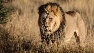 Kalahari black-maned lion