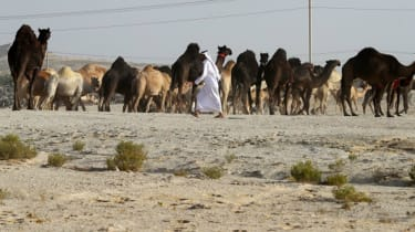 qatar and camels