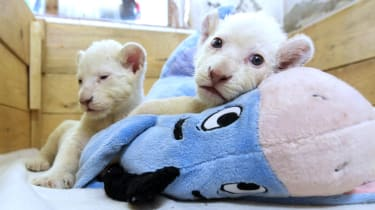 White lion cubs at Belgrade Zoo