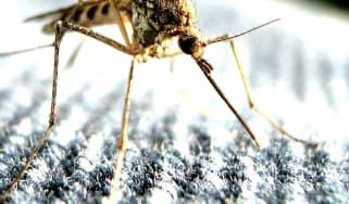 wd_160125_mosquito.jpg
