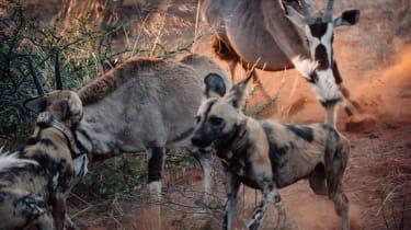 Oryx and wild dogs in the Kalahari