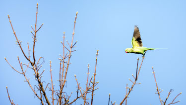 Parakeet photographed with Canon R5