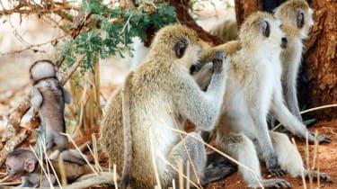 Vervet monkeys in Tarangire National Park, Tanzania