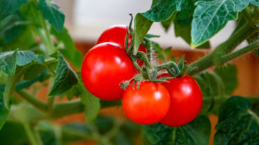 tomatoes immunity garden