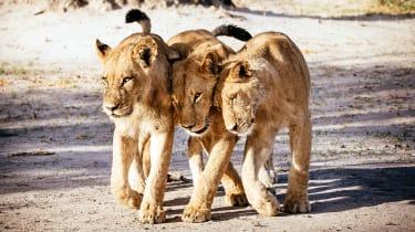 Okavango Delta young lions
