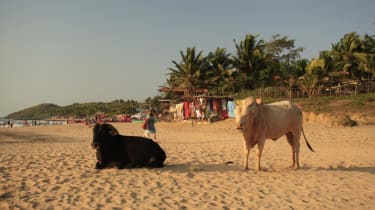 Cows on a beach in India