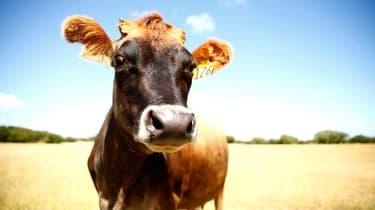 121018-wd-cow.jpg