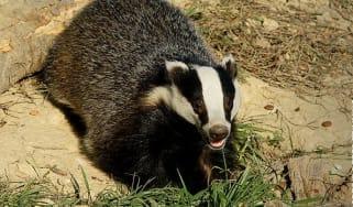 badger-0920.jpg