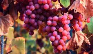 grapes_red_narrow.jpg