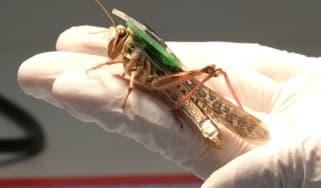 cyborg-grasshopper-2.jpg
