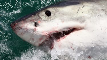 A Great White Shark in South Africa