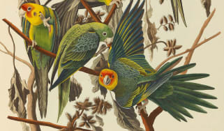 Carolina Parrots from The Birds of America