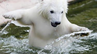 Flocke the polar bear