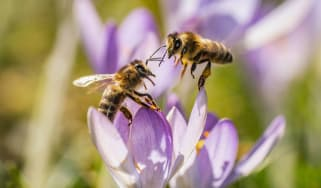 Two bees rest on a crocus on February 18, 2019 in Frankfurt am Main, western Germany. (Photo by Frank Rumpenhorst / dpa / AFP) / Germany OUT(Photo credit should read FRANK RUMPENHORST/AFP/Get