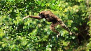 Malaysia - Bornean Gibbon leaps between trees. Kota Kinabalu, Sabah (Terra Mater / Matt Hamilton)