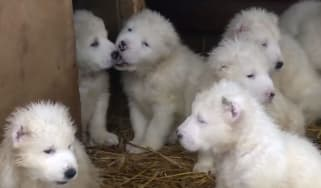 Puppies playing in Russian Ministry of Defence New Year video