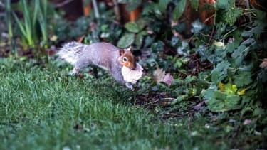 An airborne squirrel with its lunch