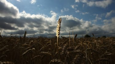 Wheat preparing to be harvested