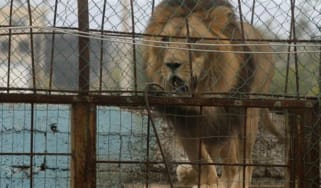 Lion Albania