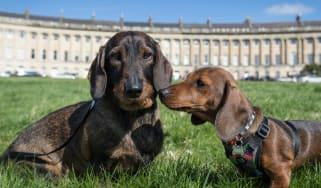 Sausage Dog Club in Bath
