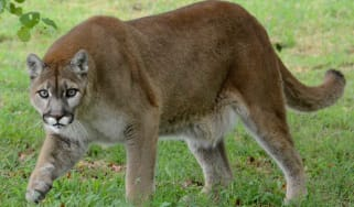 A runner has choked a mountain lion to death