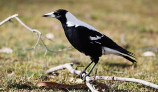 Australian police have shot dead a magpie after it attacked an old woman