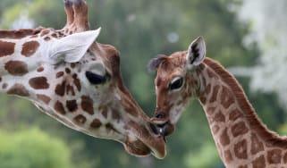 Giraffe Bine licks an older giraffe named Andrea at Friedrichsfelde Zoo in Berlin