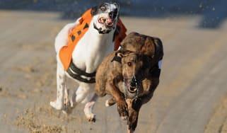 Greyhounds racing in Brighton