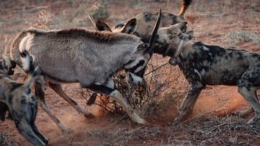 African wild dogs in the Kalahari