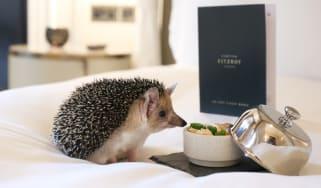 Hedgehog tucking into room service
