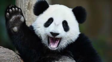 A waving panda bear