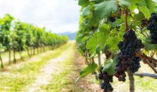 bigstock-bunch-of-ripe-grapes-in-the-vi-188566417.jpg