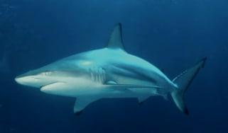 carcharhinus_limbatus_2.jpg