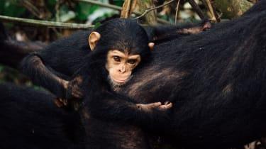Baby chimpanzee at Mahale National Park, Tanzania