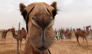 Camels are harnessed to posts before a race during the Sheikh Sultan Bin Zayed al-Nahyan camel festival, held at the Shweihan racecourse, in Al-Ain in the outskirts of Abu Dhabi on February 2