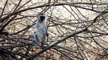 Vervet monkey in Katavi National Park, Tanzania