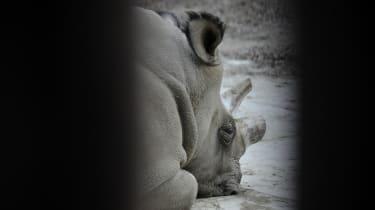 Northern white rhino Sudan