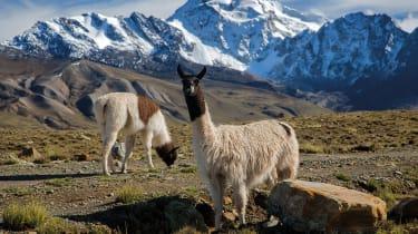 Bolivian llamas